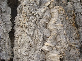 Texture de l'écorce de liège mâle